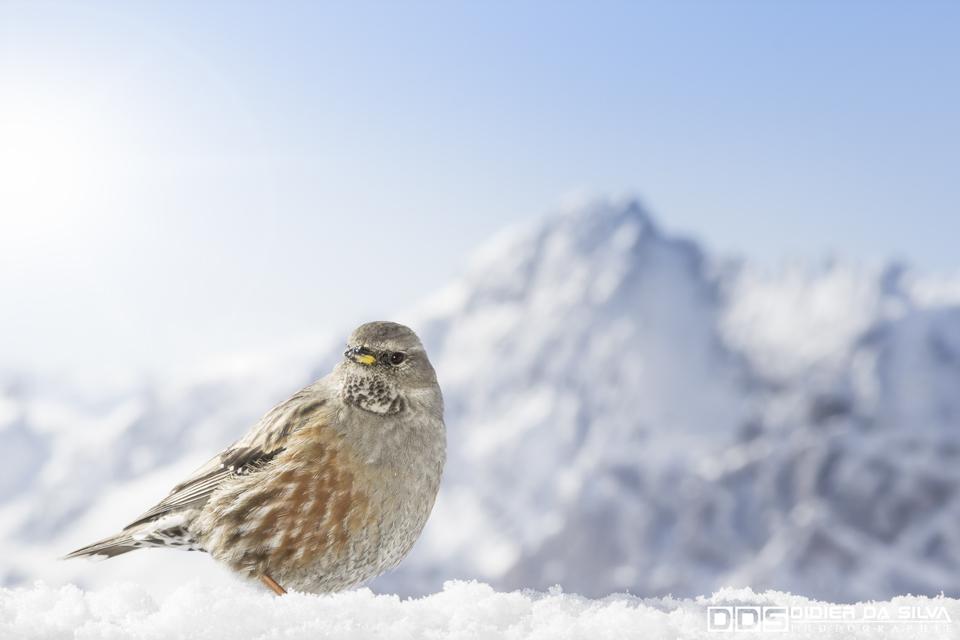Oiseau des montagnes - Valloire - France.jpg