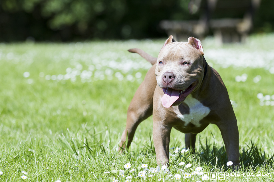 Iron Dog Américan Bully 03 - Bièvres - France.jpg